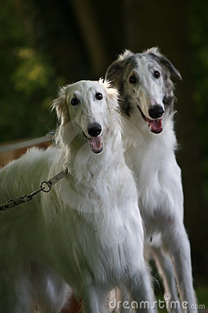 Free Borzoi Royalty Free Stock Images - 2347409