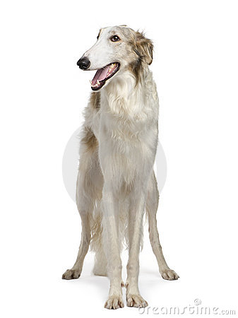 Free Borzoi - Russian Wolfhound (15 Months) Royalty Free Stock Photos - 6852088