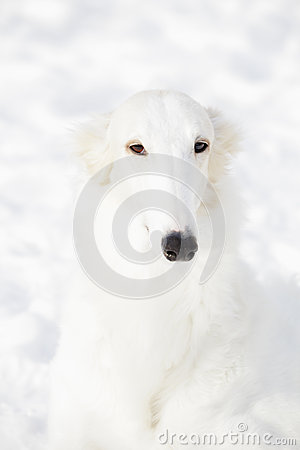 Borzoi sight hound