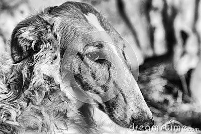 Borzoi sight-hound portrait