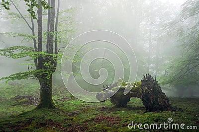 Bos met mist en dode boomstam