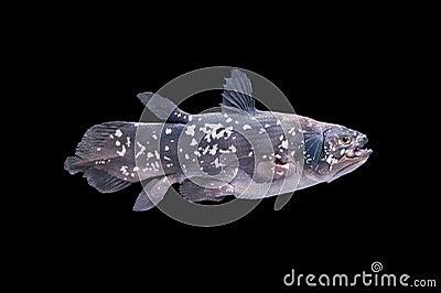 Bosatt fossil- fisk, Coelacanth.