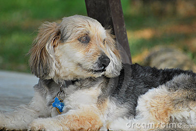 Bosnian Coarse-Haired Hound