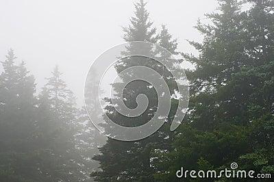 Bosque del pino en niebla densa