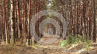 Bosque denso de coníferas Evergreen ramas de coníferas en un día soleado en el bosque Las ramas de Fir se mueven en el viento en  metrajes