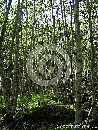 Bosque do vidoeiro (Noruega)