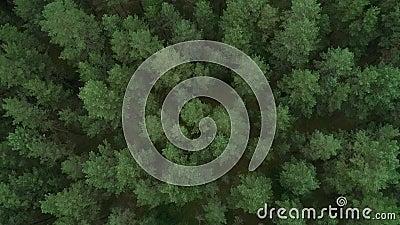 Bosque en Lituania. Bosque de Pinewood verde cerca de Vilnius, capital de Lituania. 7 almacen de video