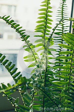 Free Boston Fern Houseplant Closeup Stock Photo - 112213800