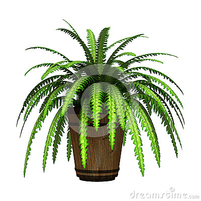 Free Boston Fern On White Stock Photos - 47859773