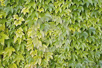 Boston ivy, japanese creeper