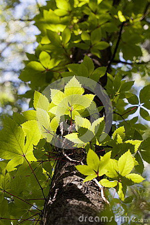 Boston ivy - tree trunk