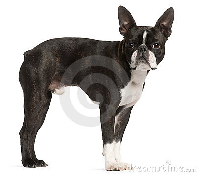 Boston Terrier, 1 year old, standing
