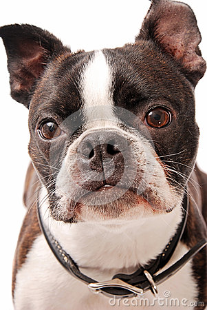 Boston Terrier Dog Close-up