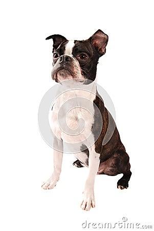 Boston Terrier Dog Standing