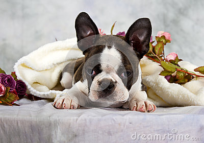 Boston terrier lay with flower string