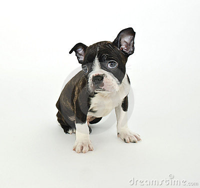 Free Boston Terrier Puppy Stock Photos - 21443223