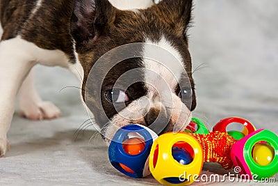 Boston terrier puppy play