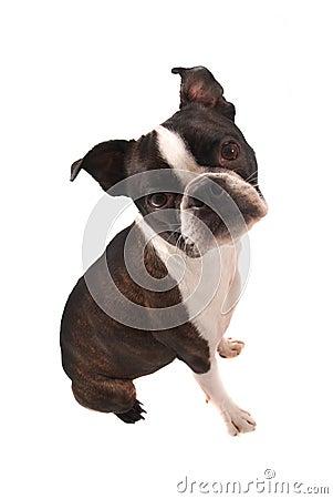 Boston Terrier Sitting