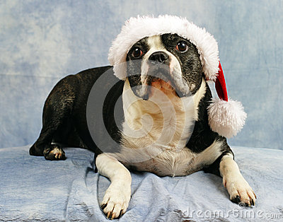 Boston Terrier wears her santa hat