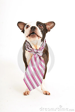Free Boston Terrier With Purple Tie Stock Image - 17312801