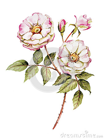 Free Botanical Roses Flower Watercolor Royalty Free Stock Photos - 44907708