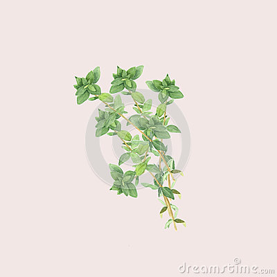 Botanical watercolor illustration of branch of thyme isolated on light pink background Cartoon Illustration