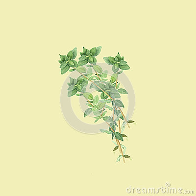 Botanical watercolor illustration of branch of thyme isolated on light yellow background Cartoon Illustration