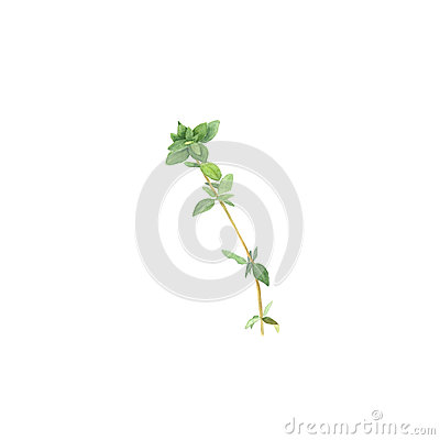 Botanical watercolor illustration of branch of thyme isolated on white background Cartoon Illustration