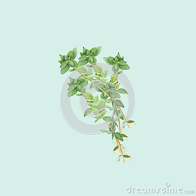 Botanical watercolor illustration of branch of thyme on light blue background Cartoon Illustration
