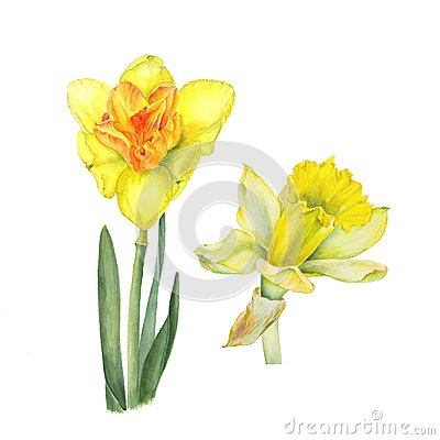 Free Botanical Watercolor Illustration Of Two Yellow Narcissus Isolated On White Background. Could Be Used For Web Design Stock Photos - 111932693