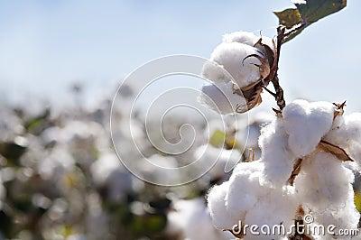 Botão do algodão no campo