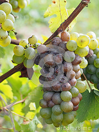 Botrytised Chenin grape, early stage, Savenniere, France