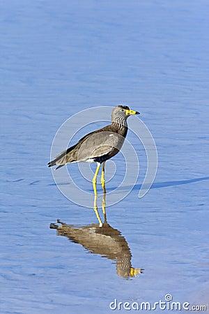 Botswana - Rare African Wattled Lapwing