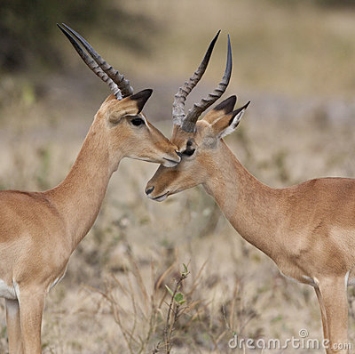 Botswana - Two Male Impala