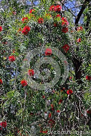 Free Bottebrush Tree Royalty Free Stock Photography - 14733227
