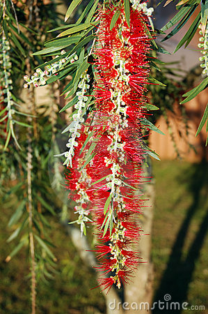 Free Bottle Brush Bush Stock Photo - 649520