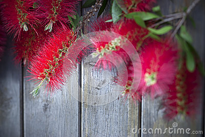 Bottle Brush Flower Wood Background