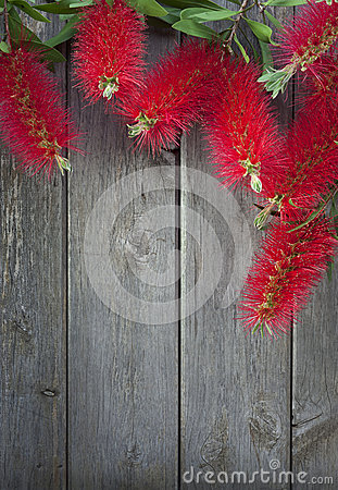 Bottle Brush Flowers Wood Background