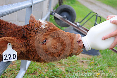 Bottle Calf Taking Milk
