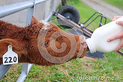 Bottle Calf Taking Milk