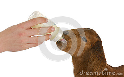 Bottle feeding baby goat
