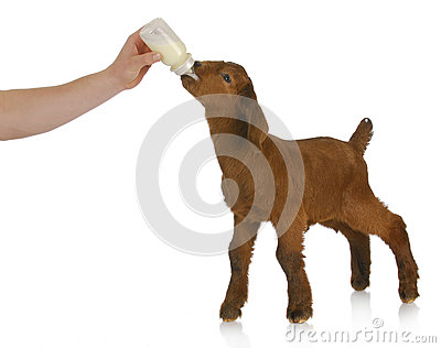 Bottle feeding baby goat