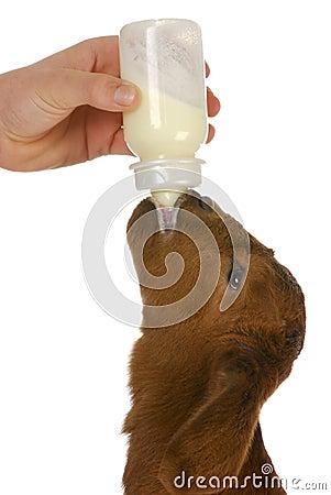 Free Bottle Feeding Baby Goat Royalty Free Stock Image - 27202086