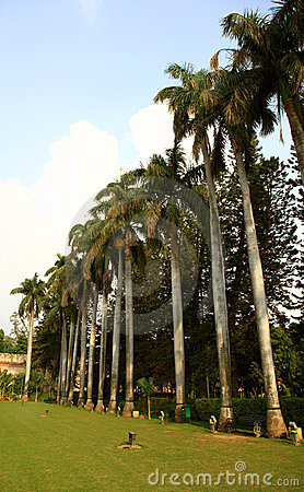 Bottle palm trees