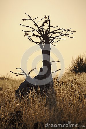 Bottle tree ( pachypodium lealii)