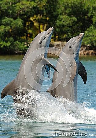 Bottlenose Dolphin Pair