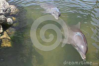Bottlenose Dolphins Swimming