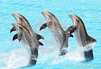 Bottlenose dolphins (Turisops Truncatus)