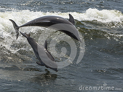 Bottlenose dolphins (Tursiops truncatus)