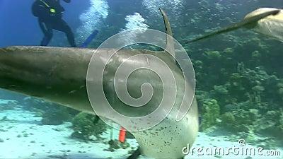 Bottlenose dolphinTursiops το aduncus indo-Ειρηνικός παίζει με τους δύτες και το συριγμό στη Ερυθρά Θάλασσα κοντά σε Hurgada απόθεμα βίντεο